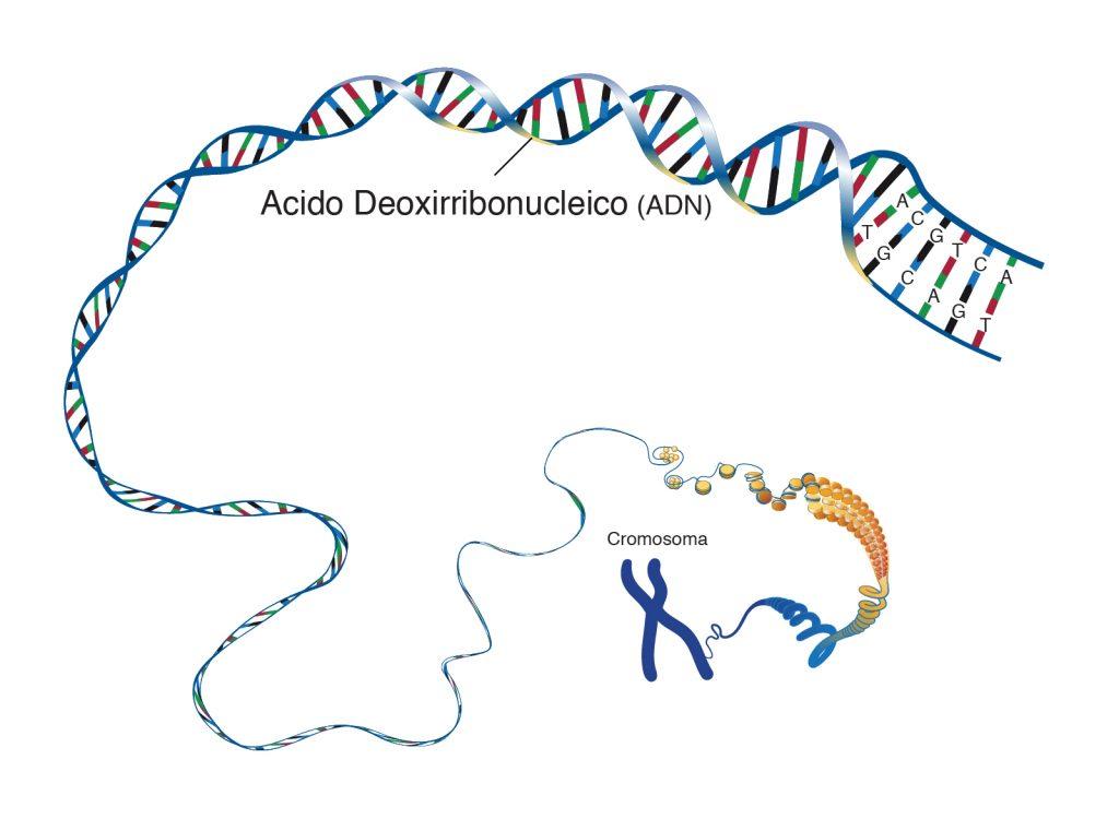ADN: cadena de esperanza